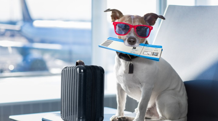 dog-in-airport-terminal-on-vacation-picture-id831626032